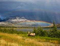 Jasper National Park, with Elk