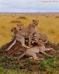 Male cheetahs often form coalitions to protect their land