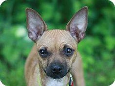 Bedminster, NJ - Chihuahua/Dachshund Mix. Meet Hannah, a dog for adoption. http://www.adoptapet.com/pet/12956757-bedminster-new-jersey-chihuahua-mix