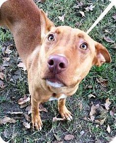 Bryan, TX - Shepherd (Unknown Type) Mix. Meet Pumpkin, a dog for adoption. http://www.adoptapet.com/pet/17036918-bryan-texas-shepherd-unknown-type-mix