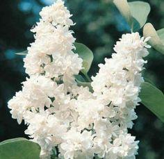 Syringa vulgaris 'Ellen Willmott' - Ellen Wilmot French Lilac | Mahoney's Garden Centers