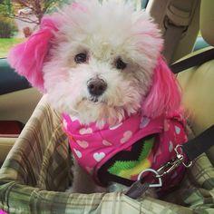 ZsaZsa girl pink Bichon