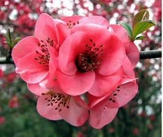 Japanese flowering quince (Chaenomeles japonica