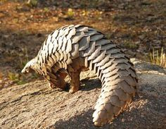 Have a closer look at this armadillo in Harare, Zimbabwe