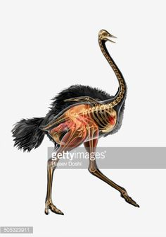 Ostrich Skeleton Diagram Blitz Power Meter Id Wiring Of Emu Free For You Screenprint Pinterest Rhea