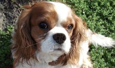 Ruby in Columbia, MD http://www.cavalierrescueusa.org/component/k2/item/720-ruby-in-columbia-md.html