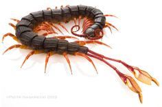 Feather Legged Centipede  (alipes grandidieri)