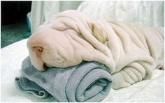I honestly can't decide if this is a dog or a towel.