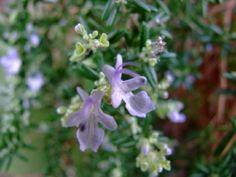 Rosmarinus officinalis Haifa Haifa, All Plants, Seaside, Coastal, Beach, Coast