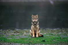 The Last Wild Wolves Photo by Ian McAllister