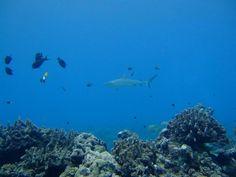 Shark. Mana Island Fiji