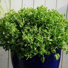 Die 61 besten Bilder von Gartenpflanzen für Beet und Kübel | Garden ...