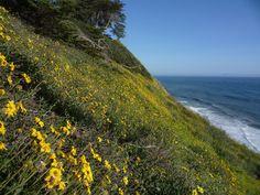California bush sunflowers