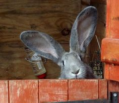 Continental Giant Rabbit.