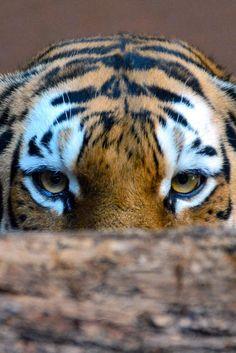 Siberian Tiger Peekaboo | Makxveli