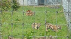 Baby Tigers @Yorkshire Wildlife Park Baby Tigers, Wildlife Park, Yorkshire, Things To Do, Horses, Animals, Animais, Animales, Things To Make