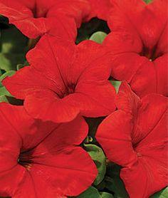 Petunia Easy Wave™ Red Hybrid,