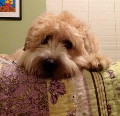 Soft Coated Wheaten Terrier...Looks like my Baxter <3