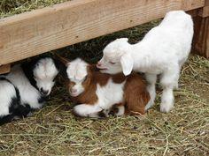 https://flic.kr/p/7RCqJg | Baby goats 011
