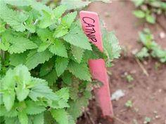Catnip Herb Seeds | Baker Creek Heirloom Seed Co