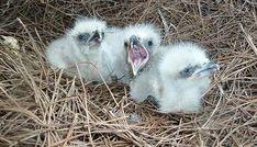 Baby Animals, Funny Animals, Cute Animals, Baby Bald Eagle, Eagle Nest, Golden Eagle, Braids For Black Hair, Birds Of Prey, Animal Kingdom