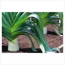 Hogyan termesszük a póréhagymát - gazigazito.hu Yorkshire, Seeds, Vegetables, Garden, Products, Plant, Garten, Vegetable Recipes, Lawn And Garden