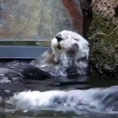 Adorable otters getting all washed up Cute Funny Animals, Cute Baby Animals, Animals And Pets, Cute Cats, Cute Animal Videos, Funny Animal Pictures, Cute Creatures, Animal Memes, Pet Birds