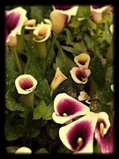 Purple & White Calla Lilies