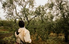 An olive farmer gathers olives in Italy!