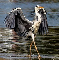 Great Grey Heron doing the runway strut.
