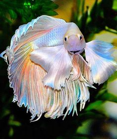 One of the most beautiful betta I've ever seen
