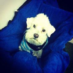 #Ropa #Perros #Mascotas #Bogota #Poodle * www.wawaw.co