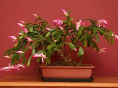 Christmas Cactus How To Care For And Make It Bloom