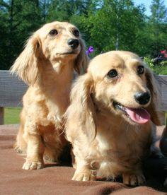 English cream #dachshund puppies .