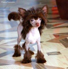Chinese Crested Pictures (k13g796192y)