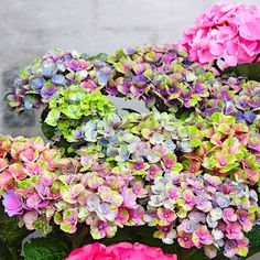 Garten-Hortensie Magical® Coral Blue