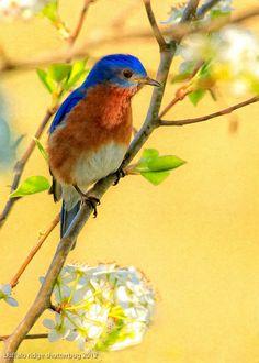 Blue bird in pear tree