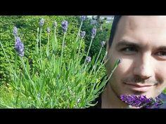 Lavanda Alfazema como cuidar lavanda em vaso lavandas fazer florir flor podar muda plantar lavandula - YouTube Plantar, Herbs, Youtube, Nursery Trees, Small Vases, Lavender, Flowers, Herb, Youtubers