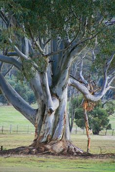 This is my other favourite photo, I love this tree, a typical gum tree, I would also like to paint it. Australian Plants, Australian Bush, Australia Landscape, Nature Sauvage, Pine Tree Tattoo, Eucalyptus Tree, Tree Photography, Nature Tree, Tree Forest