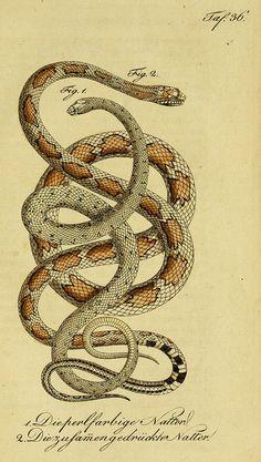 Herrn de la Cepede's Naturgeschichte der Amphibien, oder der enerlegenden vierfussigen Thiere und der Schlangen