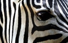 zebra - one of my favorite animals