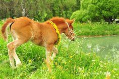 finnhorse foal suomenhevosvarsa kesä