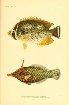 The fishes of Samoa. Description of the species found in the archipelago, with a provisional check-list of the fishes of Oceania - BioStor