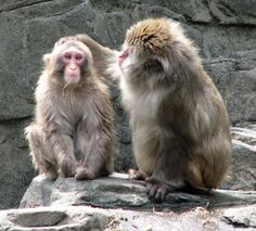 Snow Monkey Mother teaches her Baby posted via gonyc.about.com