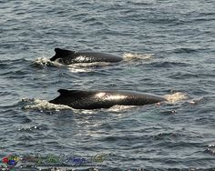 Whales Fishing Cape Spear NL by Rodney Hickey Design Studio, via Flickr