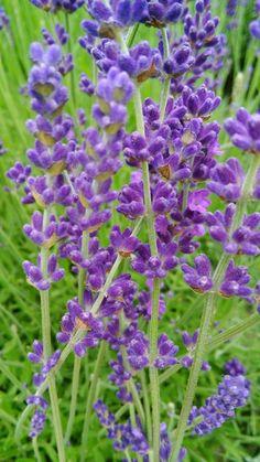 Bylinkové oleje | Bylinky pro radost