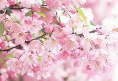 цветки яблони фото - Поиск в Google