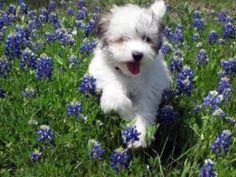 Coton de Tulear puppy!  Precious