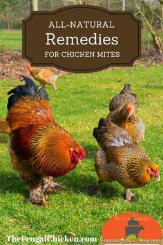 Chicken mites & lice can literally suck the life out of your hens, killing egg production and possibly your flock. Get rid of them with these all-natural solutions.