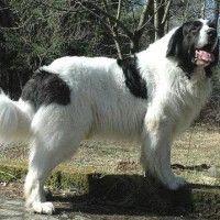 #dogalize Razas de Perros: Mastin del Pirineo caracteristicas y cuidados #dogs #cats #pets